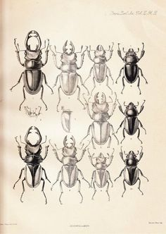 1885 Antique Plate Coleoptera , Entomology, Beetle, Odontolabis sinensis, O… Insect Tattoo, Nature Sketch, Antique Plates, Beautiful Bugs, Insect Art, The Villain, Botanical Illustration, Joseph, Illustrations