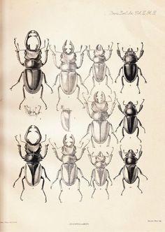 1885 Antique Plate Coleoptera , Entomology, Beetle, Odontolabis sinensis, O. mouhoti, O. gazella, O. cuvera, black and white