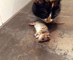 #KIA #rat #nature