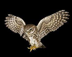 Little Owl (Athene noctua) | Flickr - Photo Sharing!
