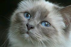 Beautiful Birman cat face!