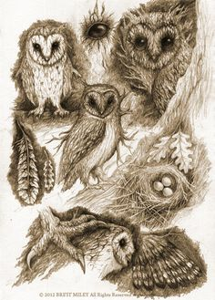 owl sketches by B Miley