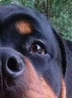 Rottie puppy close up
