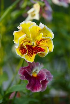 Pansies started more of these today. going to have a lot of color this year. :)