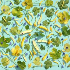 This picture is called 'Zucchini Shadows', and features yellow courgettes, fig leaves and little blue flowers from radicchio plants