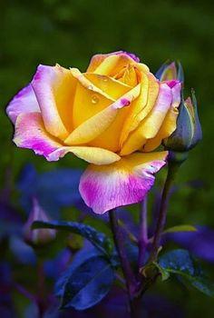Gorgeous rose .