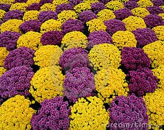 Purple and yellow mums form pattern