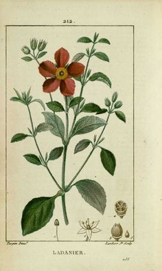 img/dessins-gravures de plantes medicinales/ladanier, ciste de crete.jpg