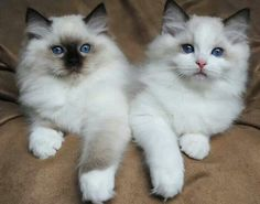 Siamese Cats Sealpoint Two beautiful Ragdoll kittens; a Sealpoint Mitted Ragdoll kitten on the left and a Bluepoint Bicolor Ragdoll kitten on the right. Cute Cats And Kittens, I Love Cats, Crazy Cats, Cool Cats, Kittens Cutest, Birman Cats For Sale, Pretty Cats, Beautiful Cats, Hey Gorgeous