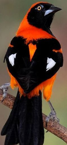 Colorful birds - Orange-backed Troupial bird - It is found in Guyana, Brazil, Paraguay and eastern Ecuador, Bolivia and Peru.