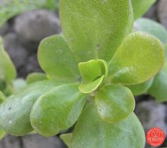 Purslane Portulaca oleracea summer green - De Bolster Summer Purslane is a very fast growing summer vegetables with a bright green leaf color. Mixing with sand facilitates sowing, because they are very fine seeds. Only sow with sufficient heat and certainly not for mid-May. Ca. 3 weeks after sowing can be harvested. 1 packet of 5 m² (4g).   Sow in open ground May-June Between rows 15 cm Sunny place