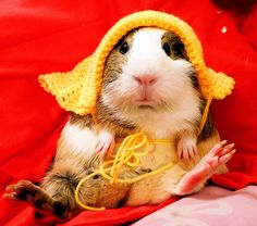 Guinea Pig-too cute