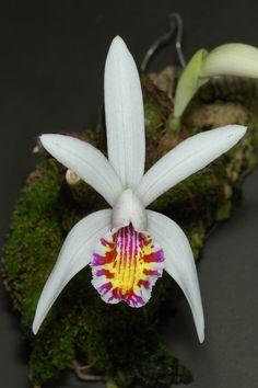 Orchid: Pleione maculata
