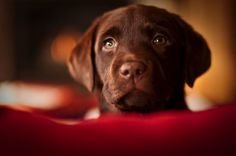 "Labrador retrievers, or ""Labs"" as they've become fondly known, are one of the most popular dog breeds of our time. Generally known and loved for their cheerful"