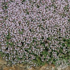 "Thymus serpyllum 'Pink Chintz' Creeping Thyme ~ Zone: 2-9  This flat-growing variety features fragrant fuzzy green leaves, smothered by soft salmon-pink flowers in summer. A strong grower, ideal as a drought-tolerant lawn substitute or for planting between flagstones, tolerating moderate foot traffic. Easily divided in spring or early fall. Height 2-4"" spread 12-23"""
