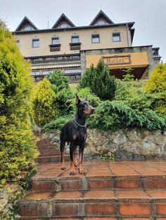 Doberman Pinscher, Dogs, Animals, Animales, Animaux, Pet Dogs, Doberman, Doggies, Animal