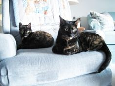 fact of the day: Tortoiseshell cats cannot be clonedhttp://pinterest.com/search/?q=tortoiseshell+cats#    I love torties!