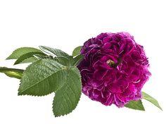 Was Blumenbilder in der Sprache der Blumen bedeuten.