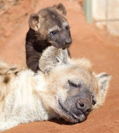 Baby hyena and mom