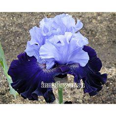 Dashing Squire Tall Bearded Iris