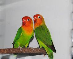 Aqui os muestro la pareja 1 de agapornis lilianae, preciosos ¿verdad?