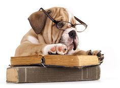 stuDYING :) Purebred english Bulldog in glasses and book #funny #fun #lol  #english #bulldog #englishbulldog #bulldogs #breed #dogs #pets #animals #dog #canine #pooch #bully #doggy