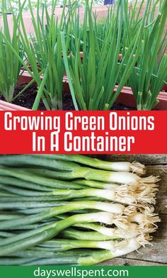 Gardening DIY Growing green onions in a container is easy, doesn't require much room and they can be grown year-round. In today's post and video, we'll cover what you need to know to grow green onions in a container successfully! Planting Green Onions, Green Onions Growing, Growing Greens, Growing Veggies, Growing Plants, How To Plant Onions, Growing Irises, Tips For Growing Tomatoes, Container Gardening Vegetables