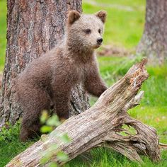 Smiling baby bear in Finland Our World, Brown Bear, Bears, Cute Animals, Wildlife, The Incredibles, Country, Homeland, Nature