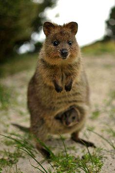 This is my spirit animal the Quokka https://ift.tt/2JXiIYU cute puppies cats animals