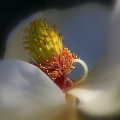 The Beauty Within - by HH Photography of Florida  #magnolia #blossom #whiteflowers #artforsale via @hhphotography3
