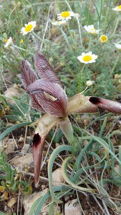 Nevruz çiçeği