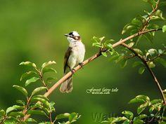 Light-vented Bulbul Bird