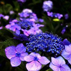 hortensien-garten-strauch-pflegetipps-blau-lila-farbe