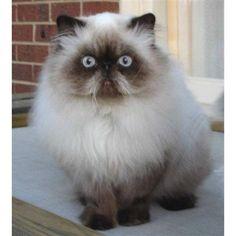 красивые персидские кошки фото: 15 тыс изображений найдено в Яндекс.Картинках