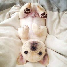 Upside-down French Bulldog pup