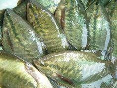 การเลี้ยงปลาสลิด