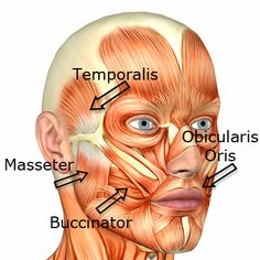 face muscles | Medical Transcription: Facial muscles