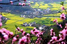 Resultado de imagem para CHINA RAPE FLOWERS