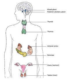 16 Best Endocrine System images   Endocrine system, Anatomy ...