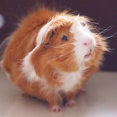 Guinea Pig Daily Viewing Recommended for Mood Elevation
