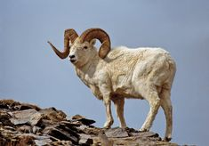 Dall sheep Bison Hunting, Trophy Hunting, Wild Animals Photos, Animals And Pets, Chamois, Big Horn Sheep, Antelope Island, Hunting Pictures, Mountain Goats