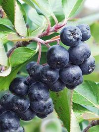 Garden Pool, Food Facts, Yummy Snacks, Agriculture, Health Benefits, Blueberry, Berries, Pools, Native American