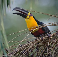 Photo @lucianocandisani (Luciano Candisani). A Channel-billed toucan. It is a recent picture  of my long term project on Legado das Águas - Reserva Votorantim, the main Atlantic Forest private reserve in Brazil. @legadodasaguas @natgeo @ngbrasil @lucianocandiani @ilcp_photographers #conservation #conservação #expedition #expedição #bird #ecologia #fotografia #photography #national geographic #aves #toucan #tucano