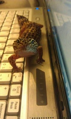 Two of my favorite things: Leopard Geckos and Computers. :-)