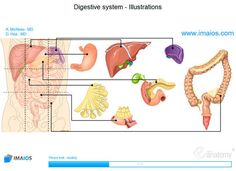 Abdomen and digestive system: anatomical illustrations - Anatomy atlas