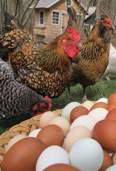 Hens & Eggs