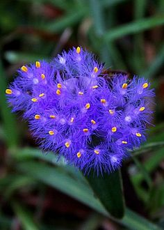 (Cyanotis vaga). Cyanotis (syn. Tonningia) is a genus of mainly perennial plants in the family Commelinaceae