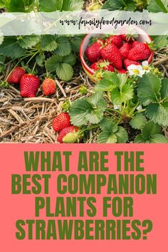 Find out what are the best companion plants for strawberries here. Let�s cover the ways that companion plants can help your crop. #companionplants #strawberries Container Gardening, Gardening Tips, Indoor Gardening, Vegetable Gardening, Berry Plants, Corn Plant, Indoor Flowering Plants, Different Plants, Companion Planting