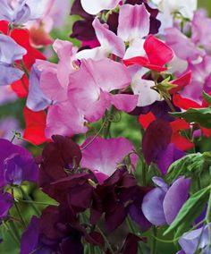 "Mix Lathyrus ""Spencer"" flower"