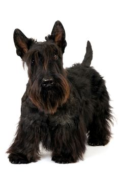 Scottish Terrier, adorable                                                                                                                                                                                 More